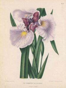 Japanse iris door Abraham Wendel (1826-1915) uit Flora