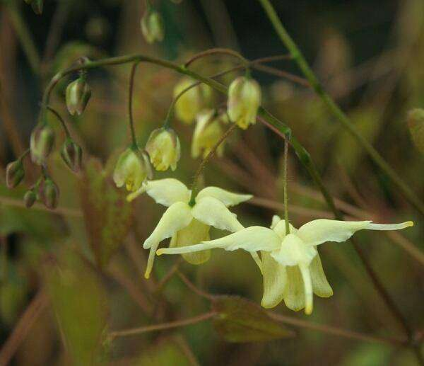 Epimedium Tuingoed Foltz