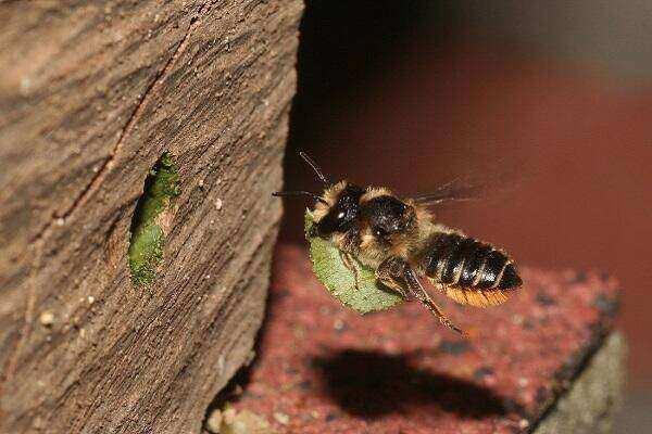tuinbladsnijder Megachile centuncularis vrouw_resize Pieter van Breughel