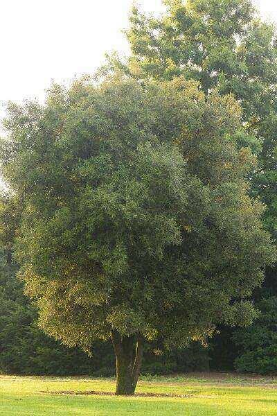 Quercus ilex - Steeneik