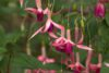 Doornduyn Fuchsia
