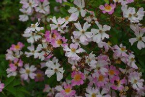 Rosa multiflora 'Adenochaeta