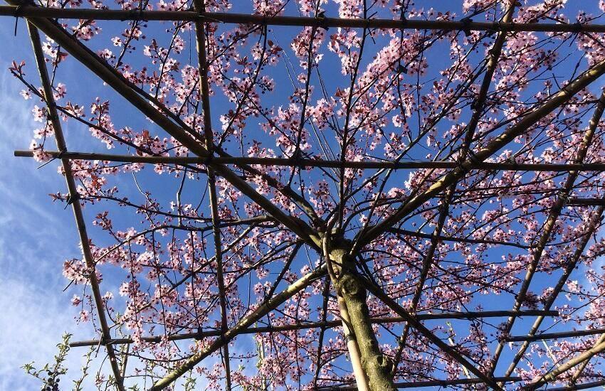 Prunus cer. 'Nigra' DAKVORM