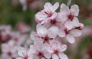 prunus-prcnigra-roodblad