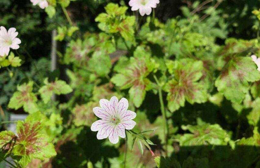Jan Neelen Vaste Planten Geranium