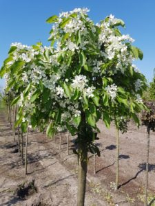 Malus White Candle