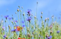 alpine-cornflower IPD cursus