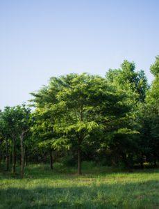 Zelkova serrata - Japanse Zelkova