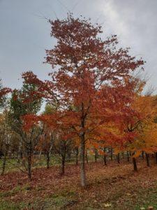 zelkova serrata roodkleurig