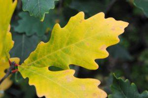 Quercus x warei 'Regal Prince'