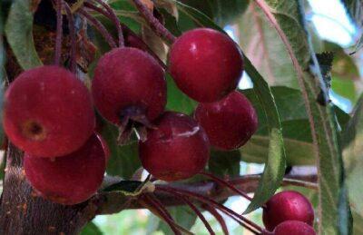 malus-maliset-roodblad-roodpurper