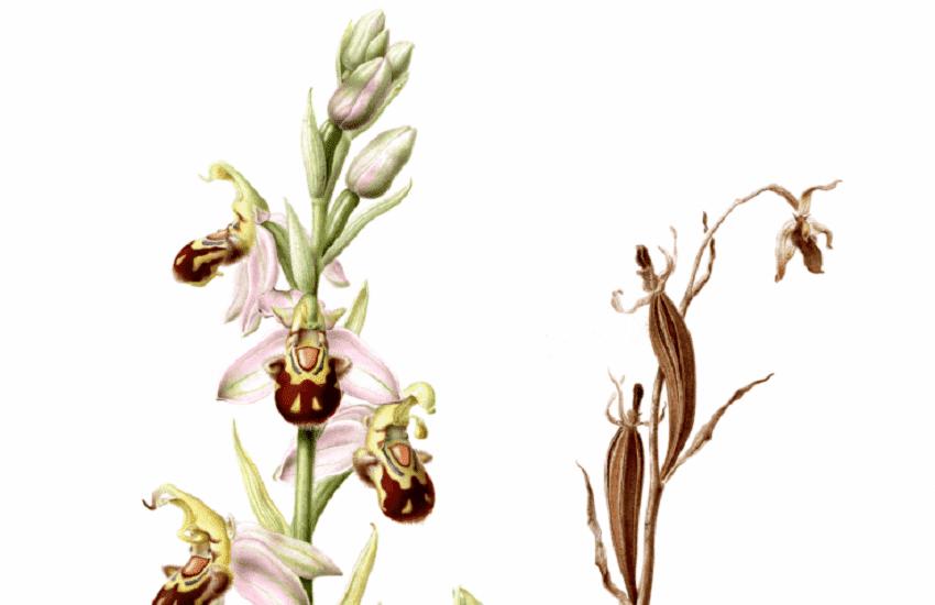 Esmee-Winkel_Ophrys-apifera