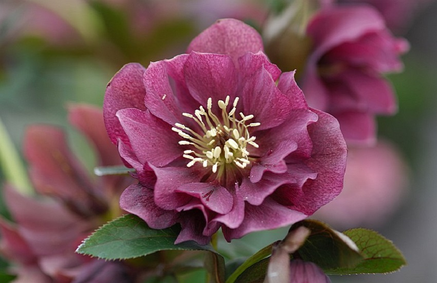 Helleborus Double EllenR Red
