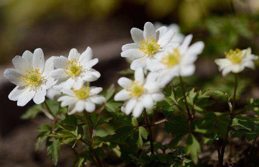 Anemone-hilda