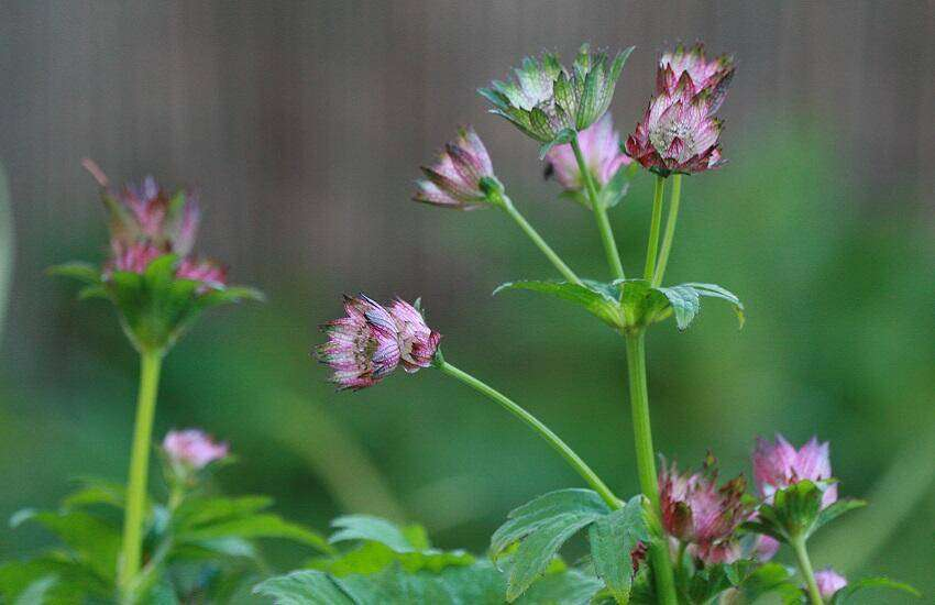 Astrantia 'April Love'