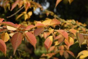 Prunus incisa 'Rebecca' herfstkleur
