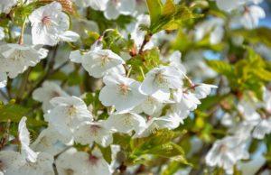 Prunus 'Uminko'_lente