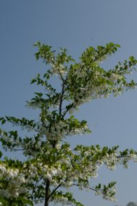 Styrax japonicus var. jippei-kawamurai...