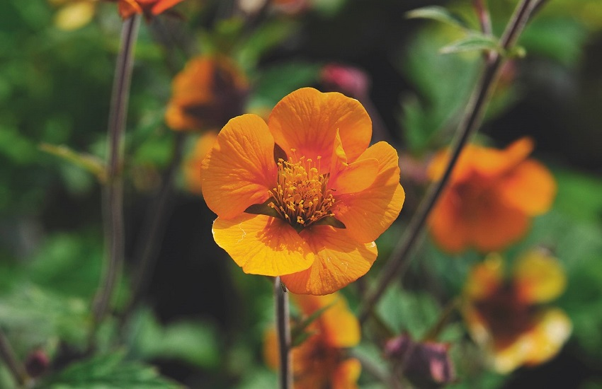 Geum 'Butterscotch'