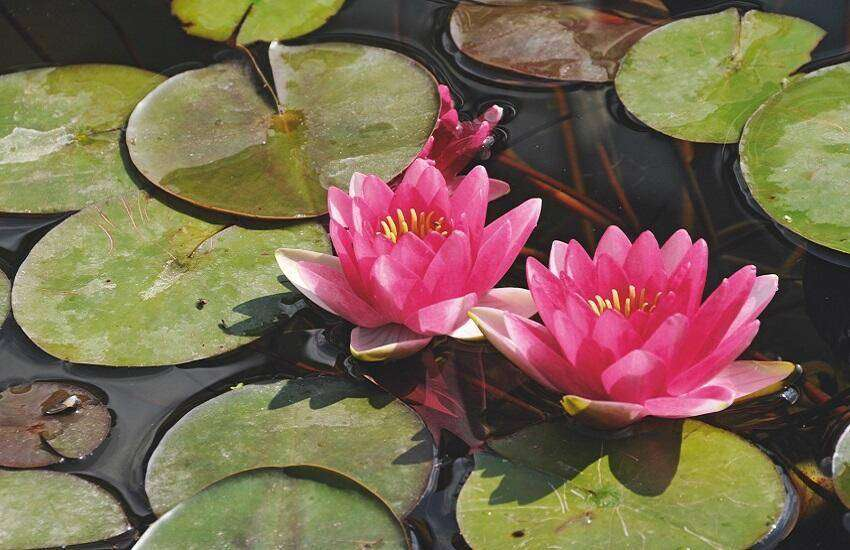 Nymphaea 'Attraction'