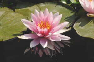 Nymphaea 'Fritz Junge'