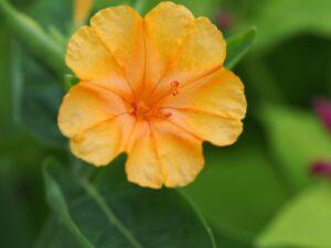 Mirabilis 'Orange'