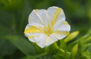 Mirabilis 'White-Yellow'