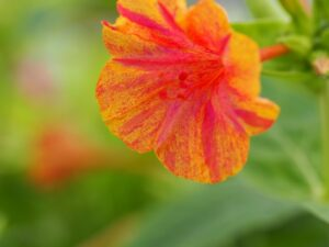 Mirabilis 'Yellow-Red'