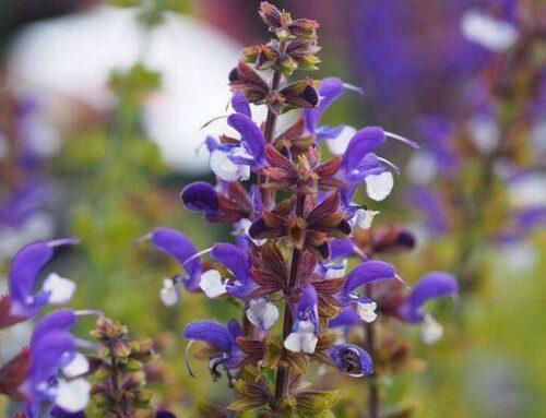Salvia's brengen kleur in (na)zomer