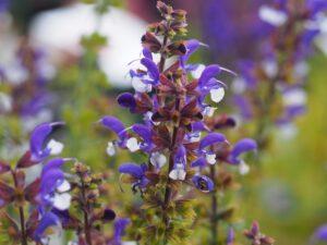 Salvia Color Spires 'Azure Snow'.