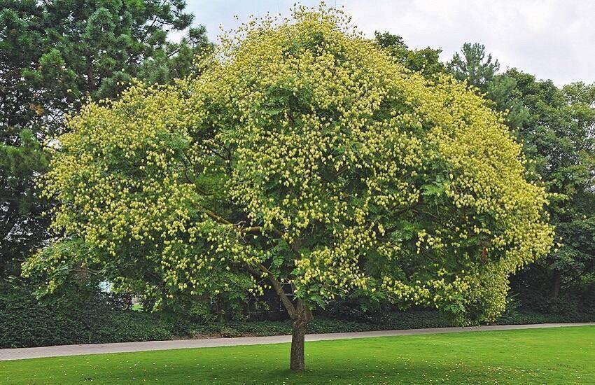 Koelreuteria paniculata Koelruit boom