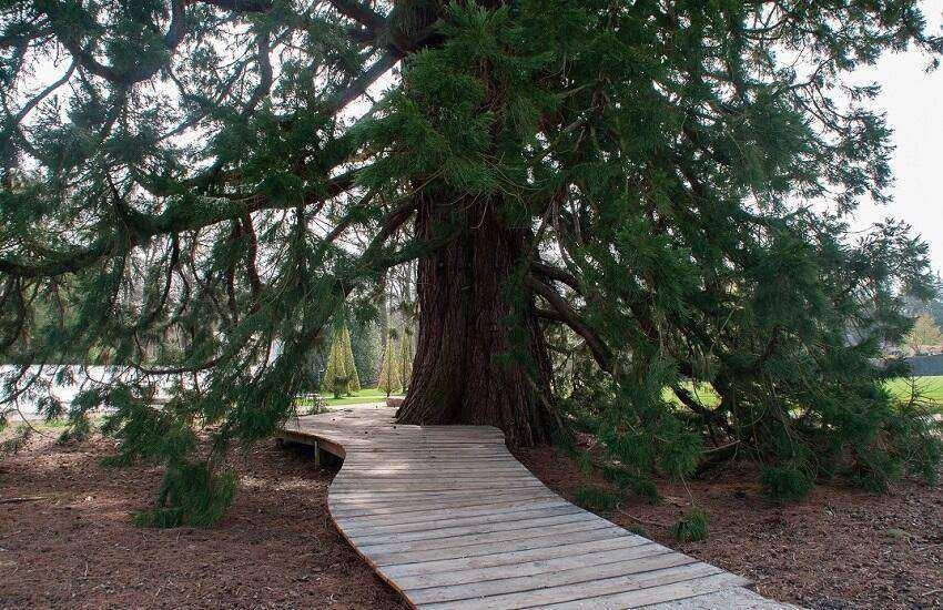 Kasteeltuinen Arcen Tuinen Mammoetboom