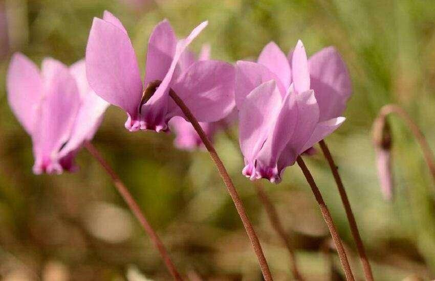 cyclaam-najaar-cyclamen-hederifolium-napolitaanse