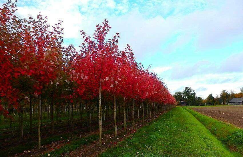 Acer freemanii autumn blaze Kemps