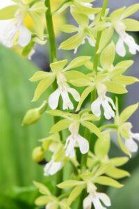 Calanthe Garden Orchid