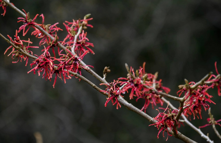 Hamamelis Kalmthout