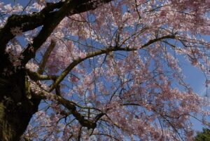 Prunus subhirtella 'Autumnalis' (1)