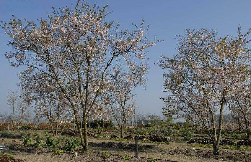 Prunus subhirtella 'Autumnalis' (2)