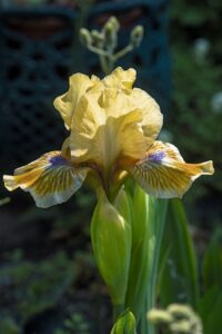 Iris (germanica) pumila 'Pokemon'