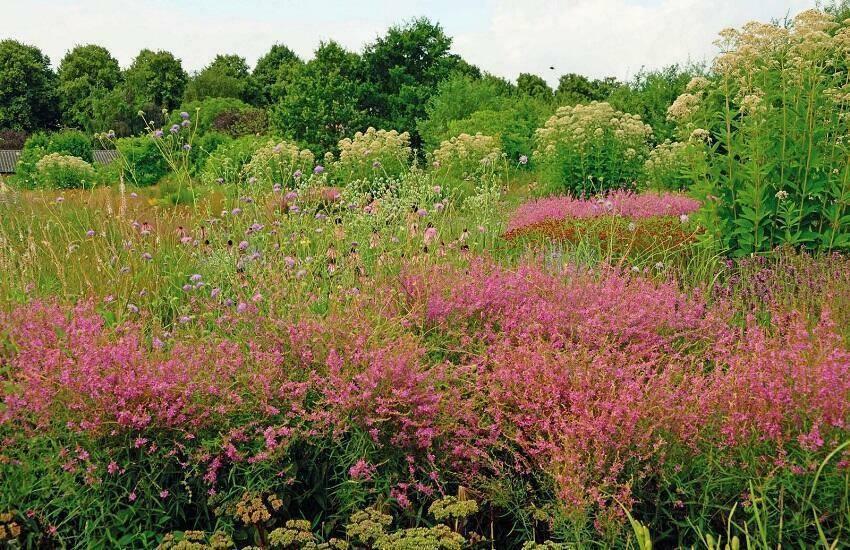 Lythrum virgatum 'Swirl' op de voorgrond in 'De Vlinderhof'