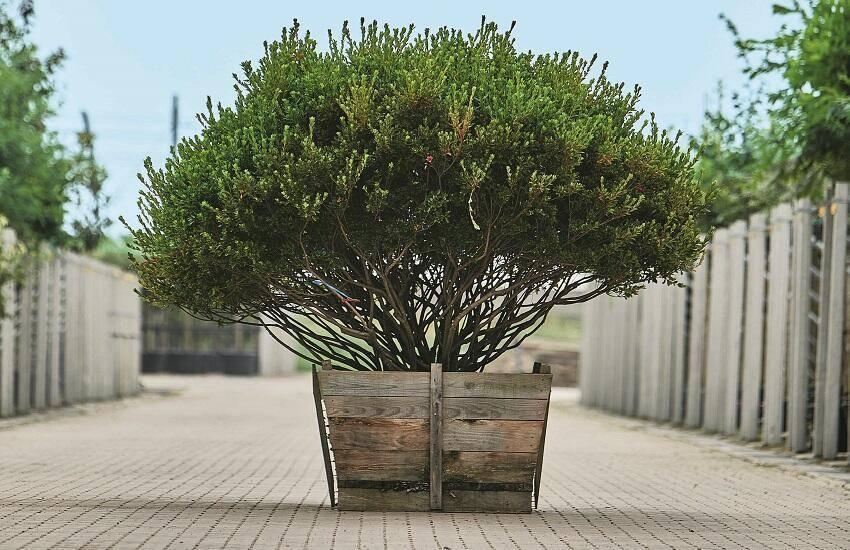 Azalea japonica - Japanse azalea - Bomendael
