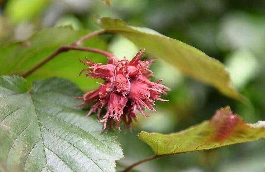 Corylus 'Rode Zellernoot'-Hazelnoot