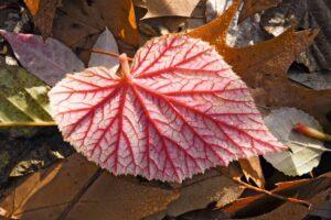 Begonia grandis 'Evansii'