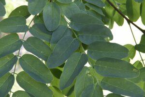 Robinia pseudoacacia 'Umbraculifera' - Bolacacia blad
